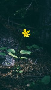 Alone Yellow HD Flower Wallpaper for iPhone 7