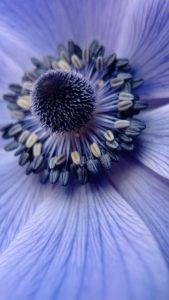 Blue Closeup HD Flower Wallpaper for iPhone 7