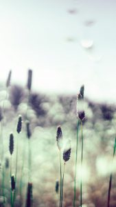 Light Grass Wallpapers HD for iPhone 7