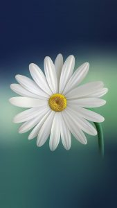 White Flower Wallpapers HD for iPhone 7