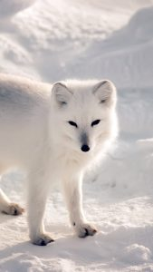 White Fox Wallpaper in HD for iPhone 7