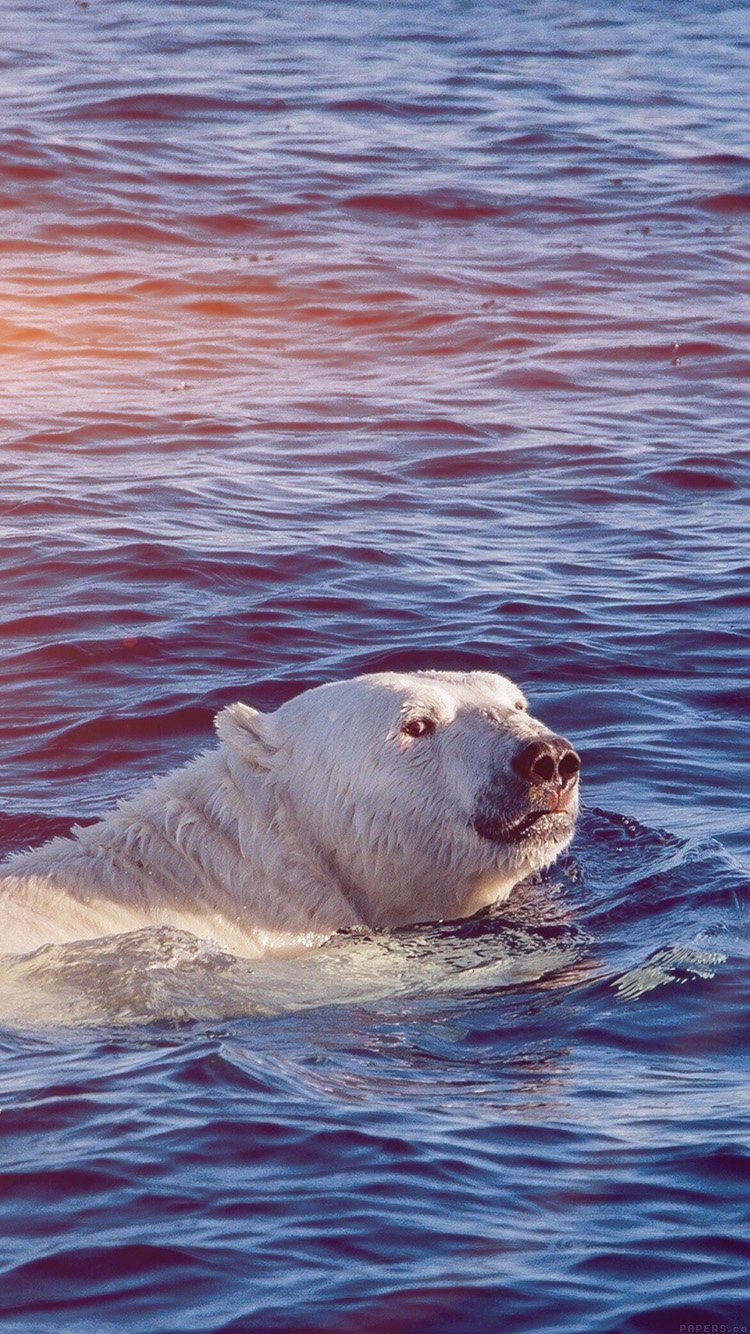 Polar Bear Swimming Wallpaper in HD for iPhone 7