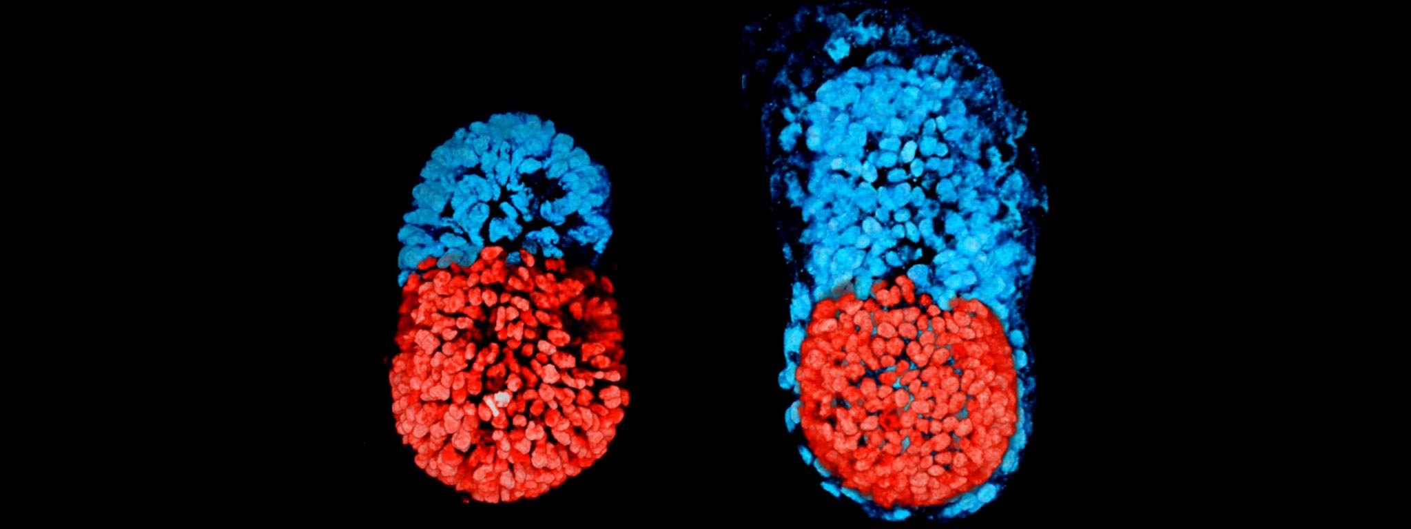 mouse embryo changing to bullet shape