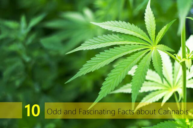 10 Odd and Fascinating Facts about Cannabis